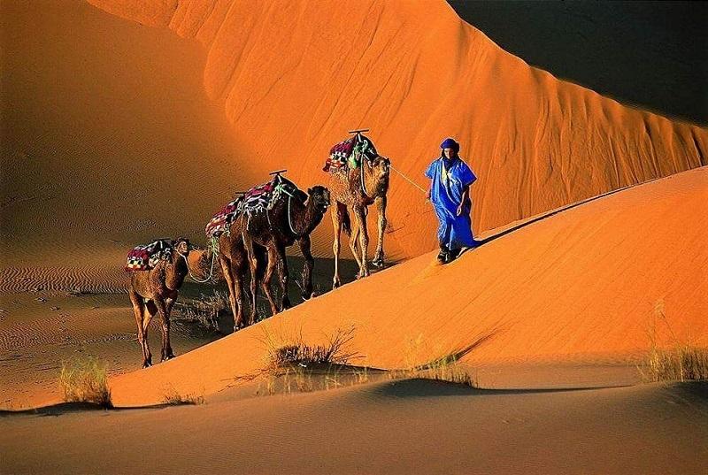 caravan de camellos en el desierto de Marruecos